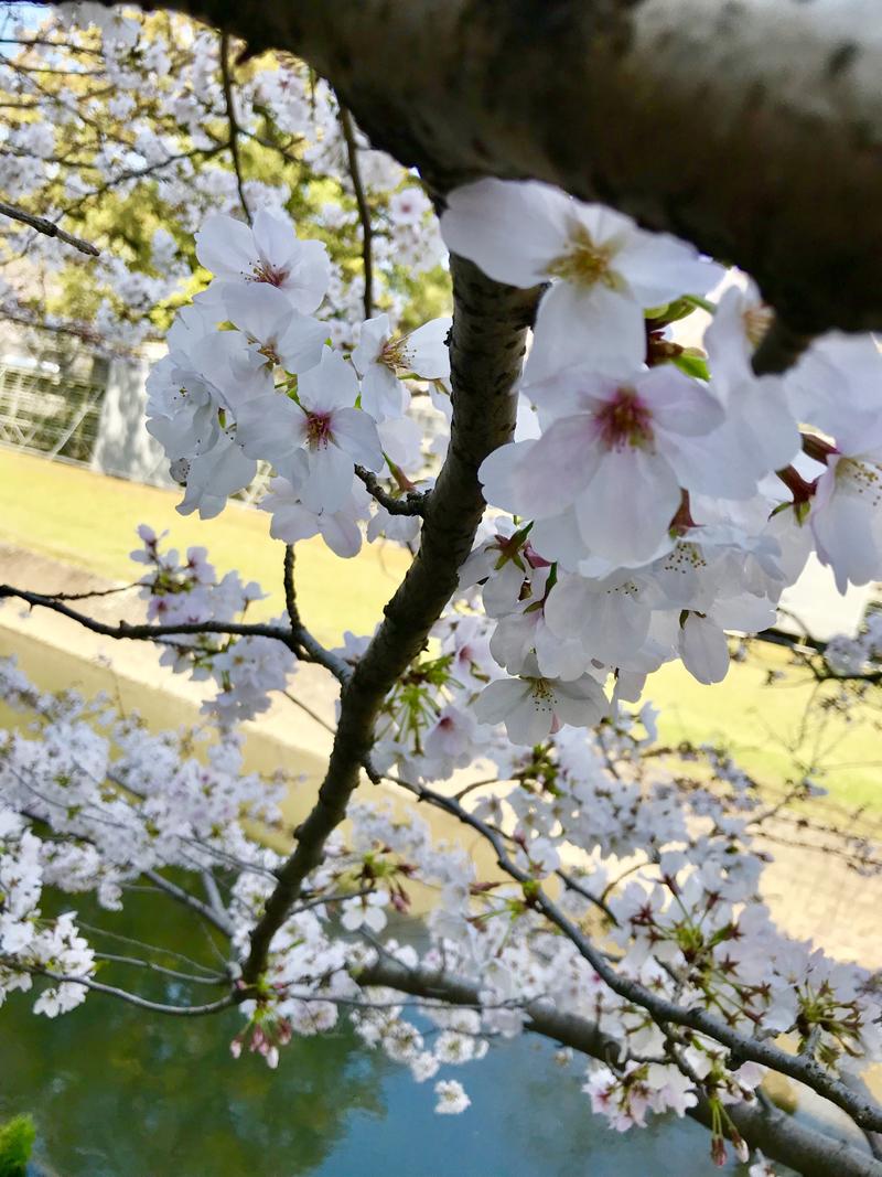 'Spring like flowers. Bloom like Sakura.'