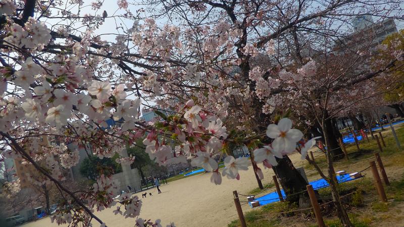 'Fukuoka sakuras'