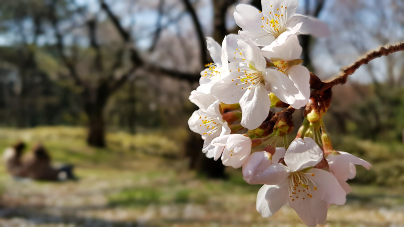 'Date in a field of Sakura // Yoyogi Park'