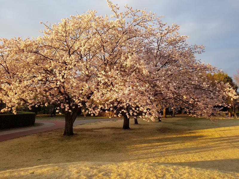 'Sakura @ sanuma beach, shimotsuma shi, ibaraki'