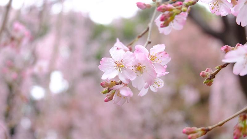 'Sakura's Fleeting Beauty'