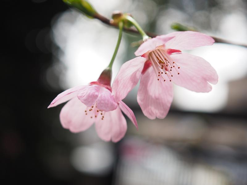 'Miyabi Sakura in my garden'