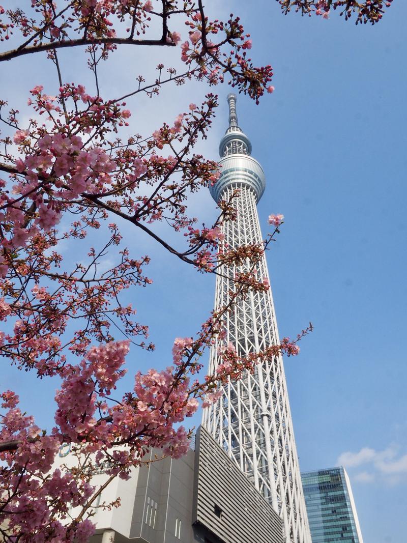'SkyTree and Kawazu Sakura'