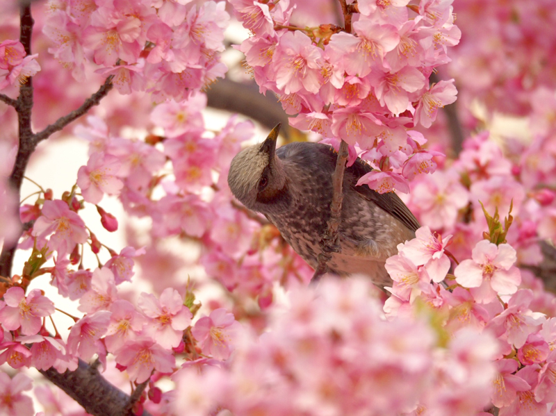 'Brown-eared Bulbul and Kawazu Sakura (Tokyo)'