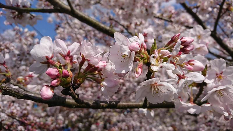 'Sakura in Iwakuni'