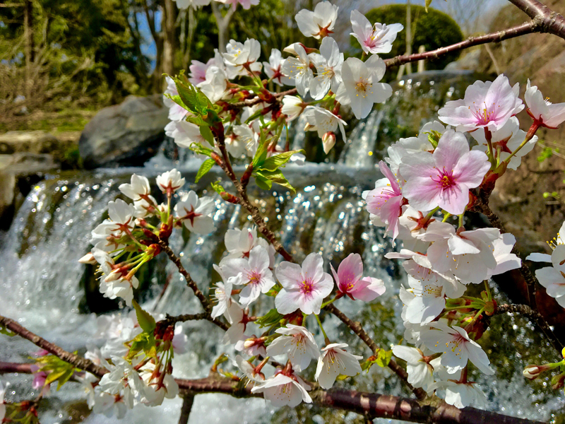 'Blossoms and Waterfall'
