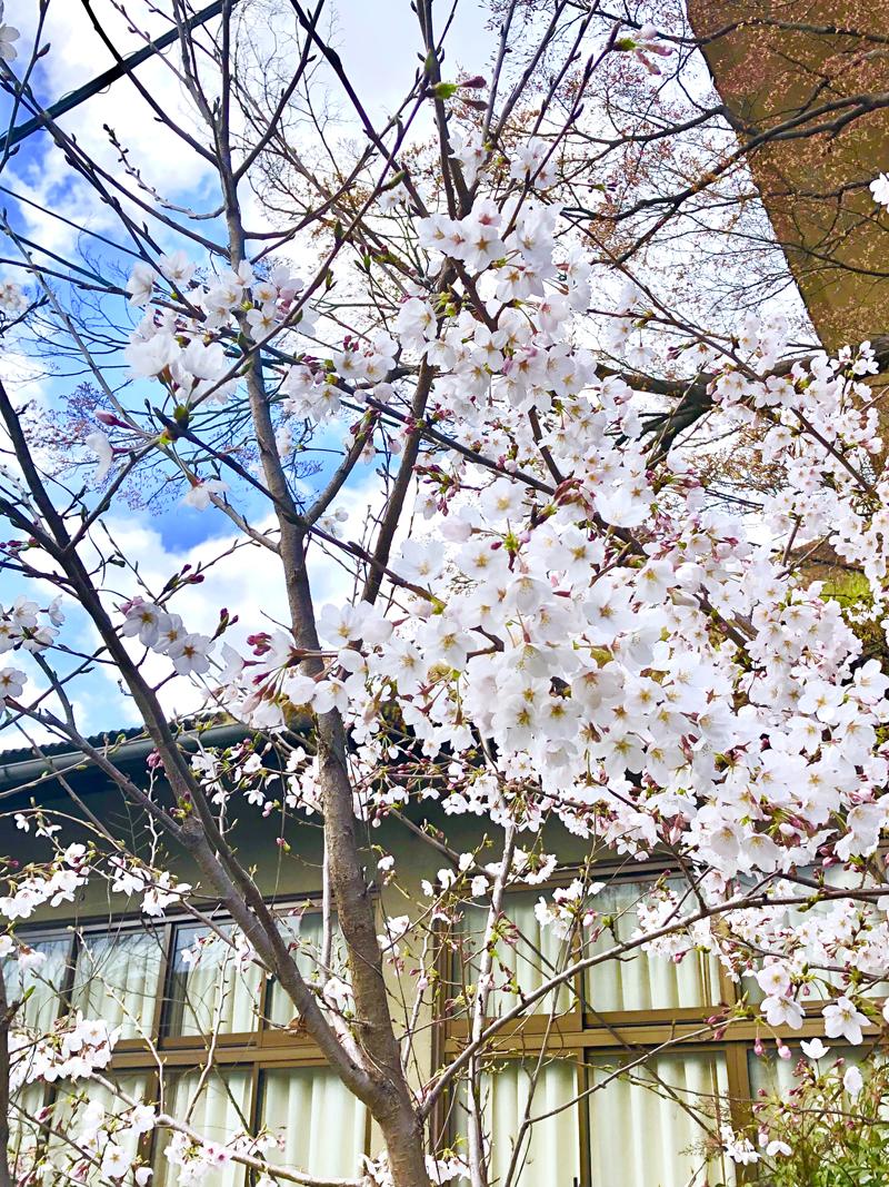'Sakura in a temple'