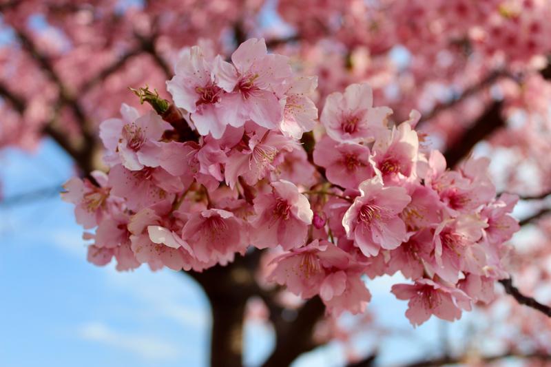 'Sakura memories'