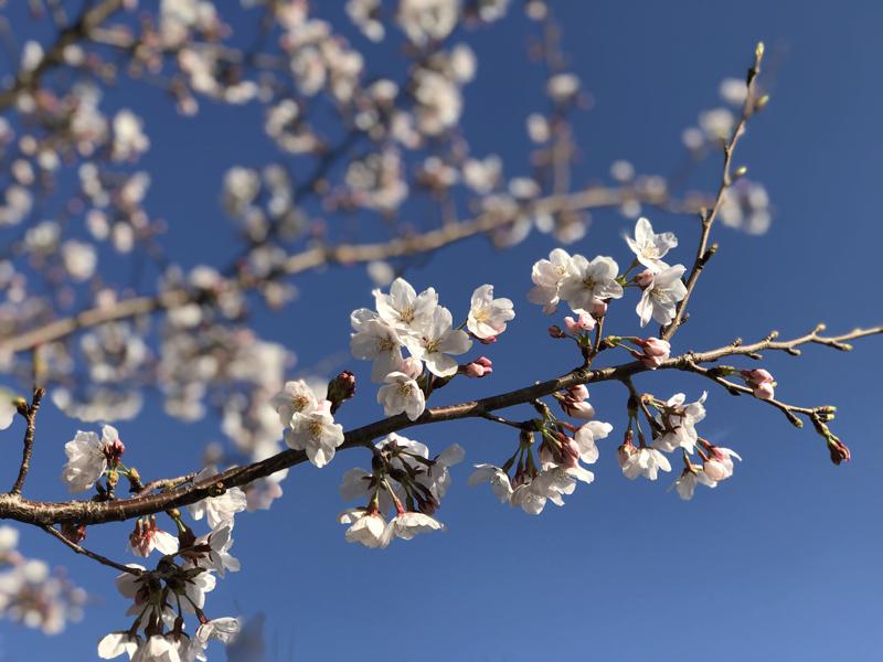 'Sakura in blue sky'