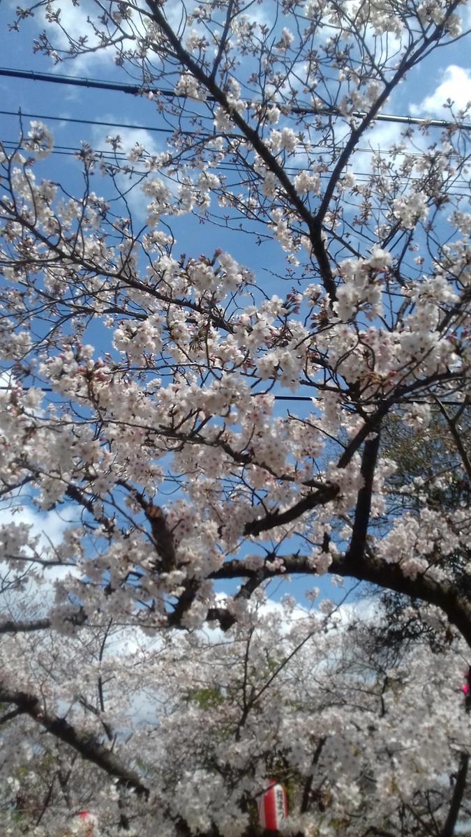 'Sakura of wakayama castle'