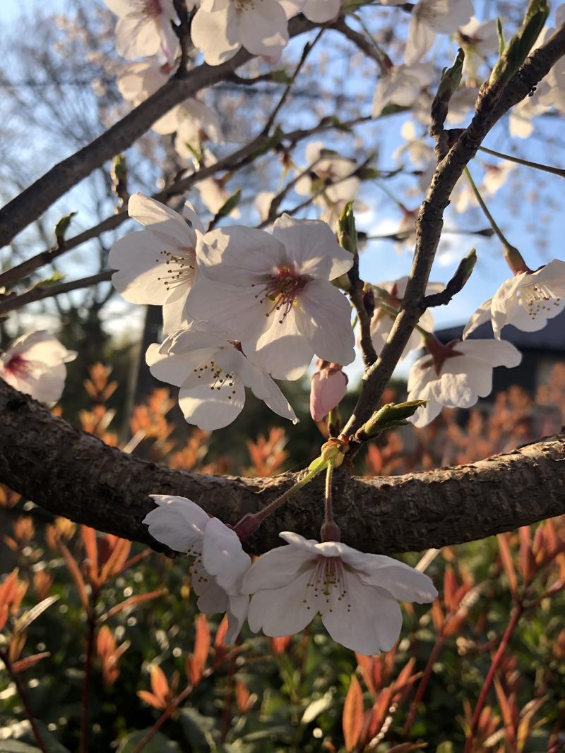 'Symbols of Hope: Sakura and Sunset'