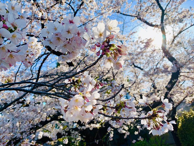 'Sakura : Sun kissed !'