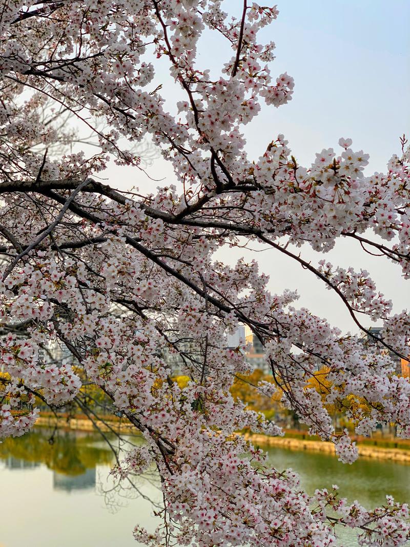 'Sakura in Osaka'
