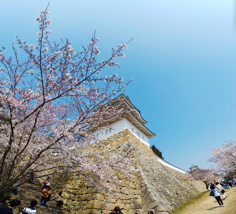 'Sakura and Castle, Akashi Castle, Kobe, Japan'