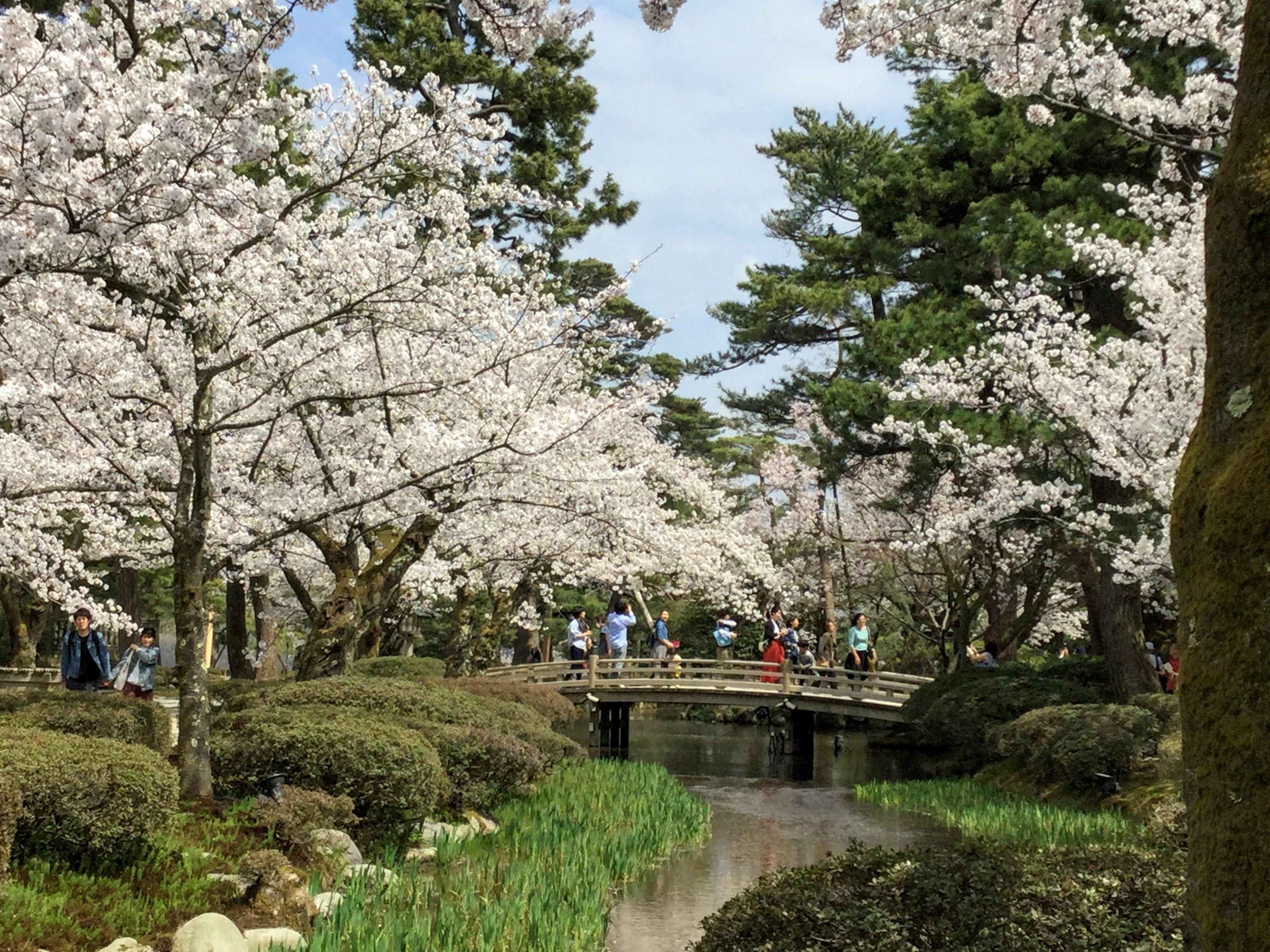 Kanazawa Hanami Cherry Blossom Guide