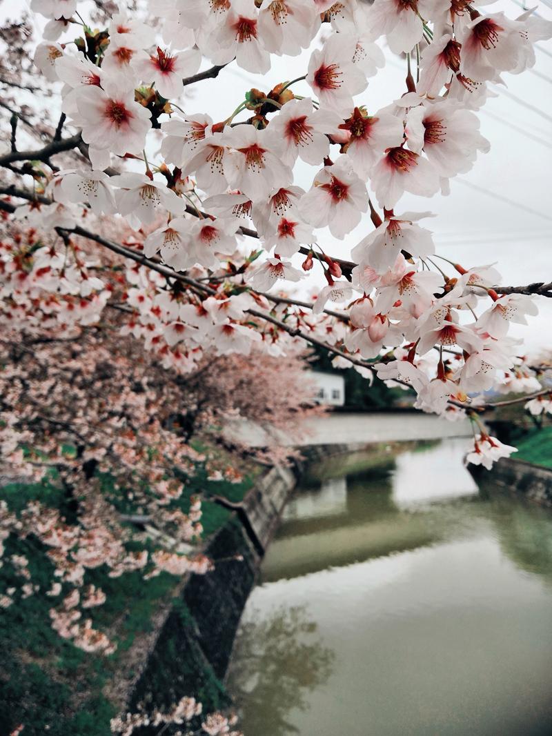 'Sakura Madness'