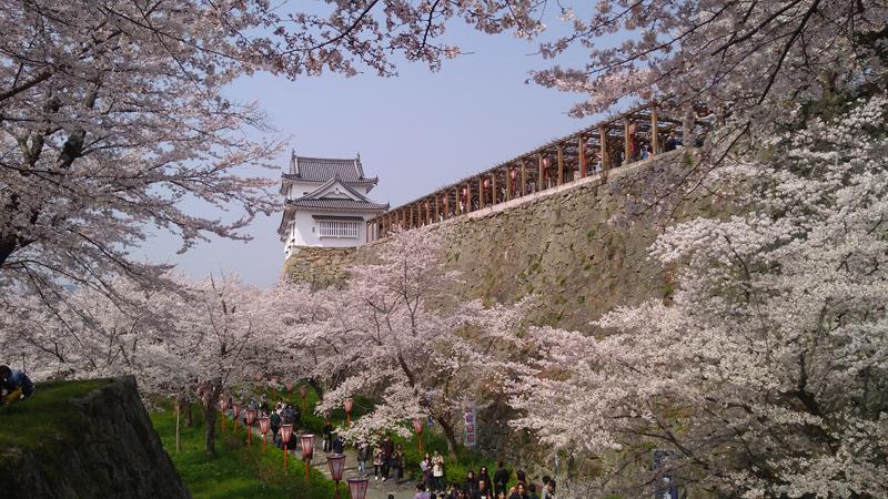 'Sakura lining new beginnings'