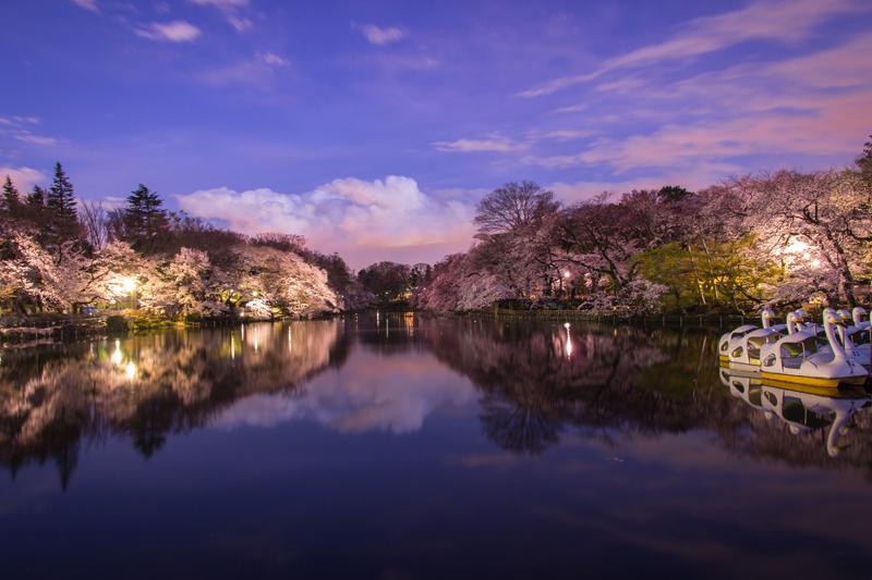'Sakura at Dusk'