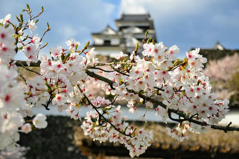 'Sakura around Ozu castle in Ehime'