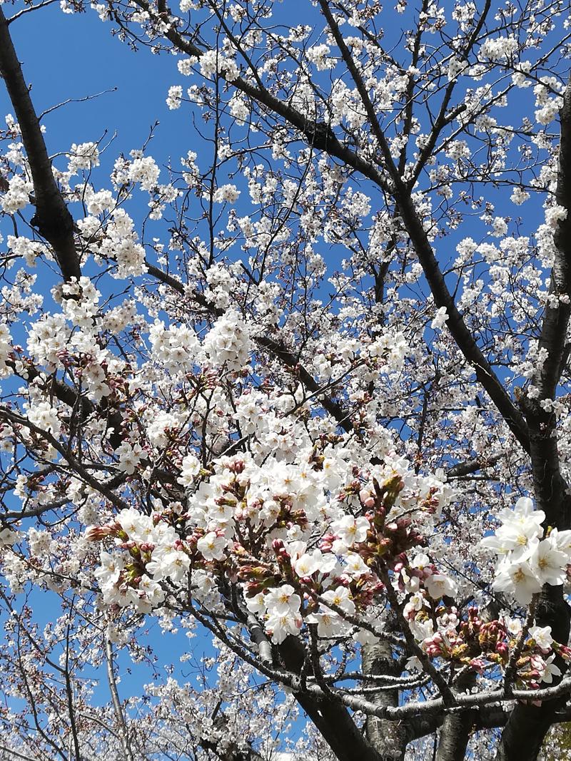 'Sakura in blue'