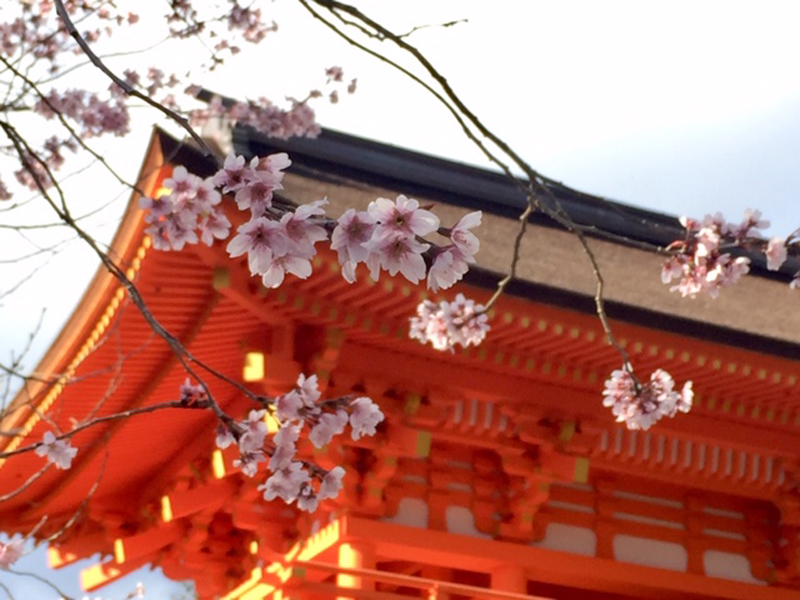 'Sakura at Kamigamo Shrine'