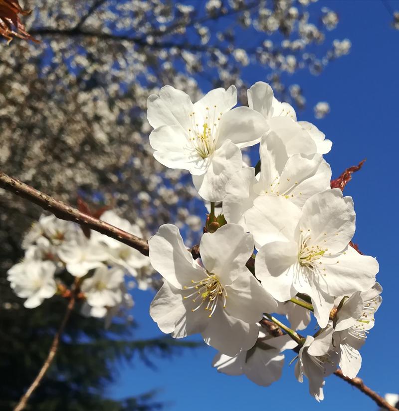 'Sakura on blue sky!'