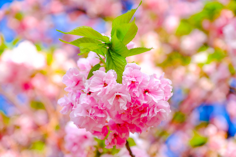 'Sakura Photo'