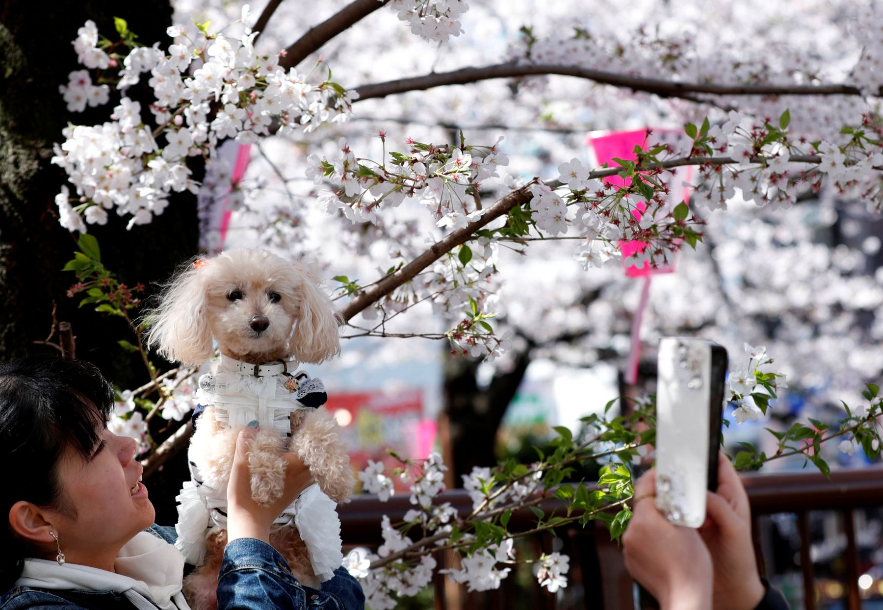 A woman poses with her pet dog in front of cherry blossoms in full bloom in Tokyo