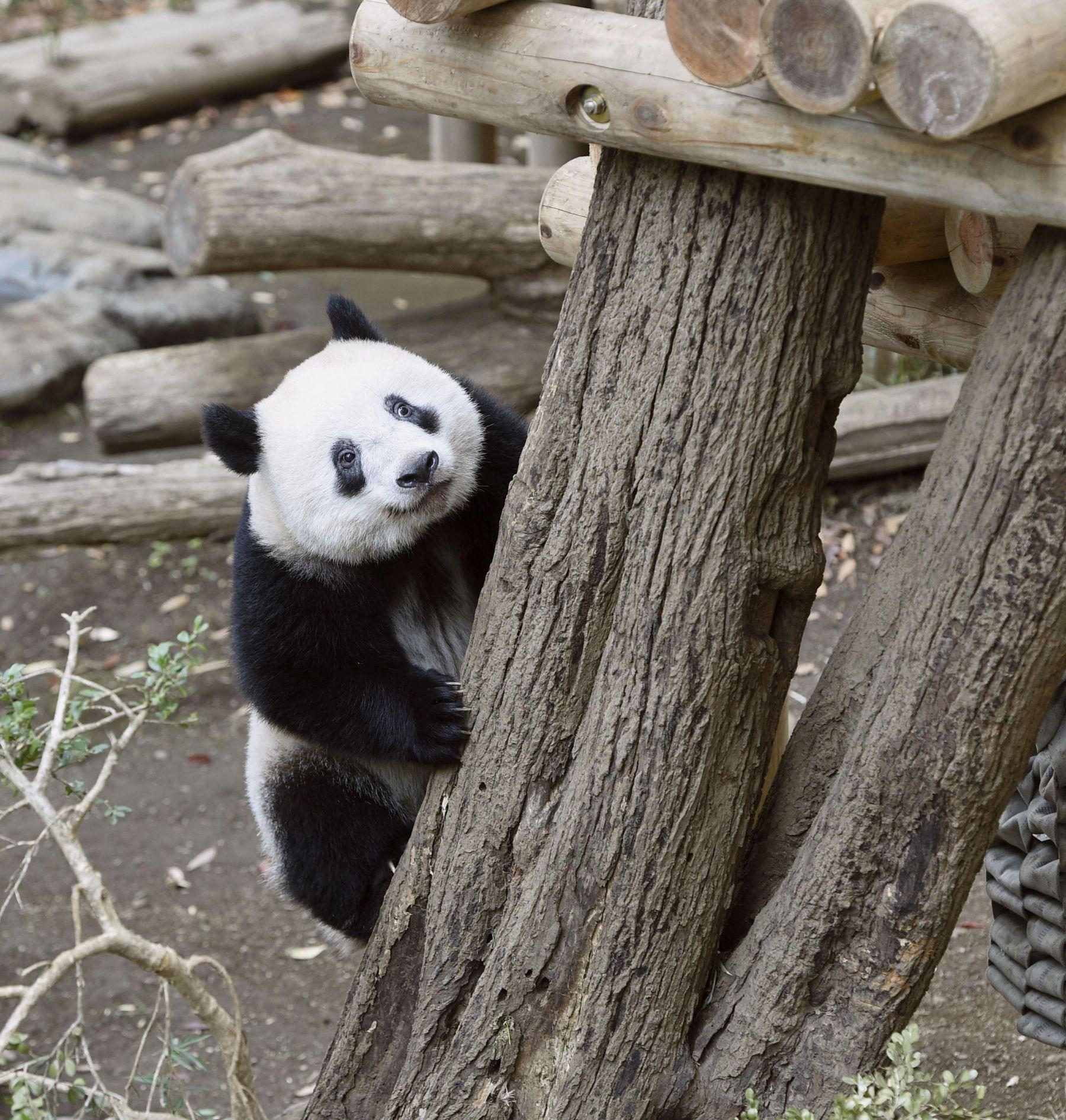 Tokyo Ueno Panda 2 Year Old Birthday 002