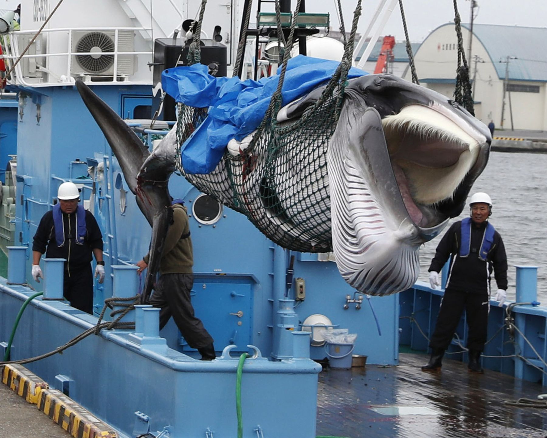 Japan Resumes Commercial Whaling 029