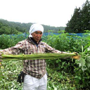 苧麻という材料の収穫