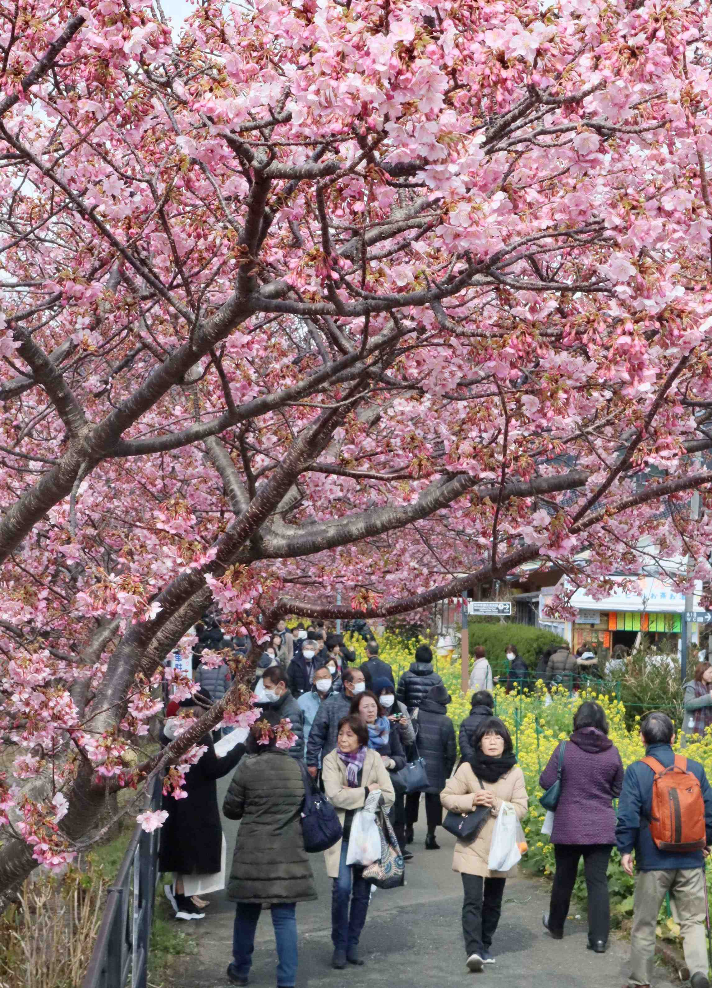 Kawazu-zakura in bloom at Shizuoka Japan Cherry Blossom 002