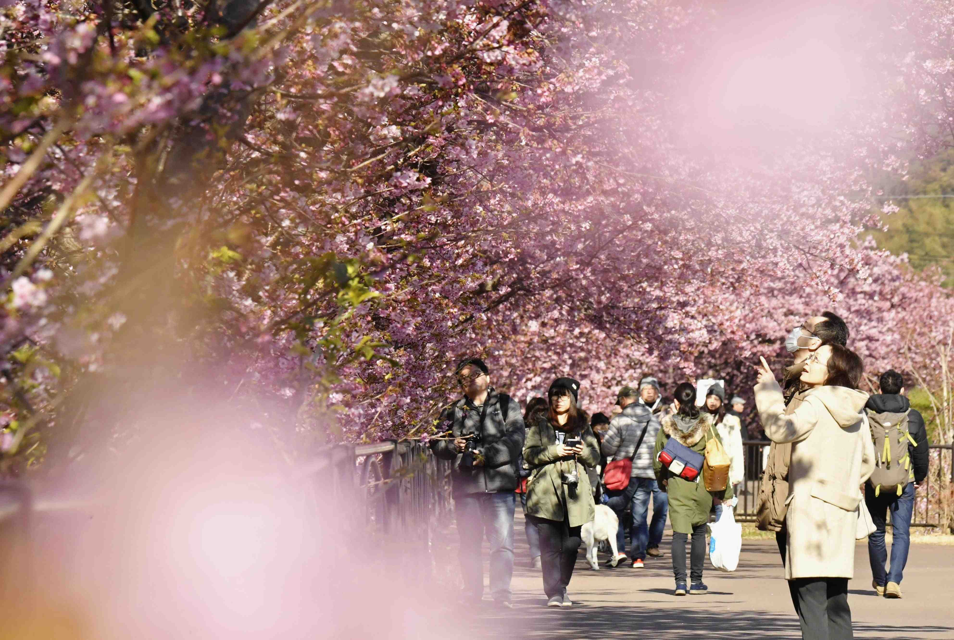 Japan S 2020 Cherry Blossom Season About To Start Japan Forward