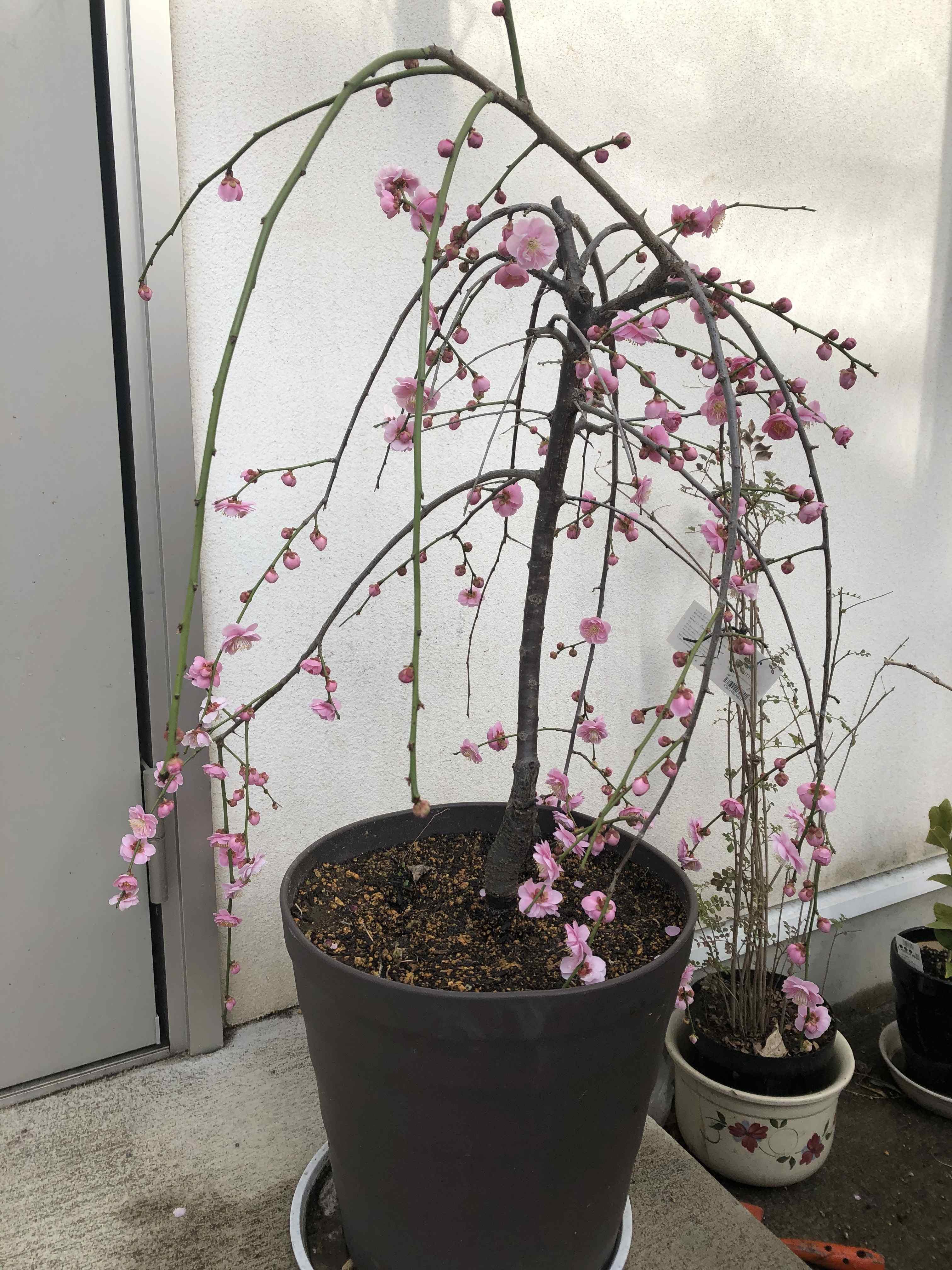 Kimono Cherry Blossom7