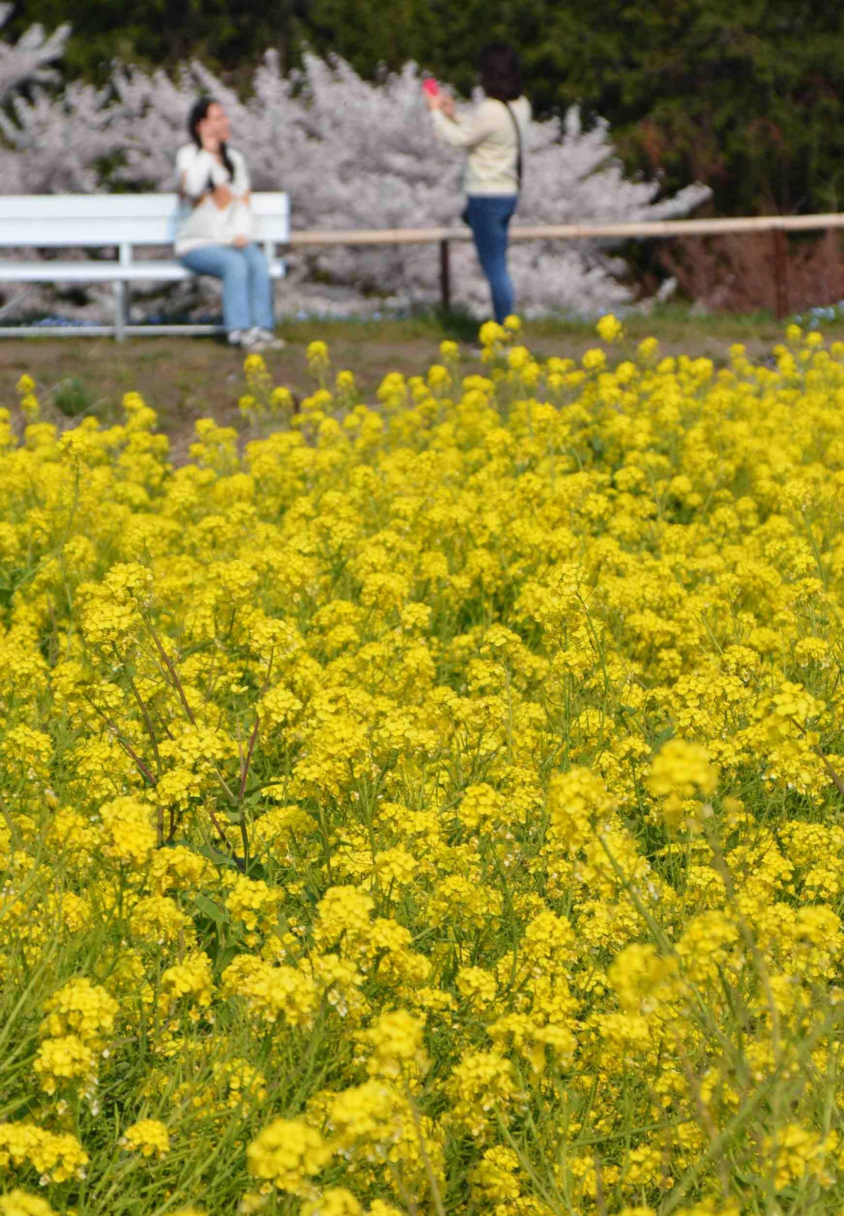 Japan Spring Flowers 029