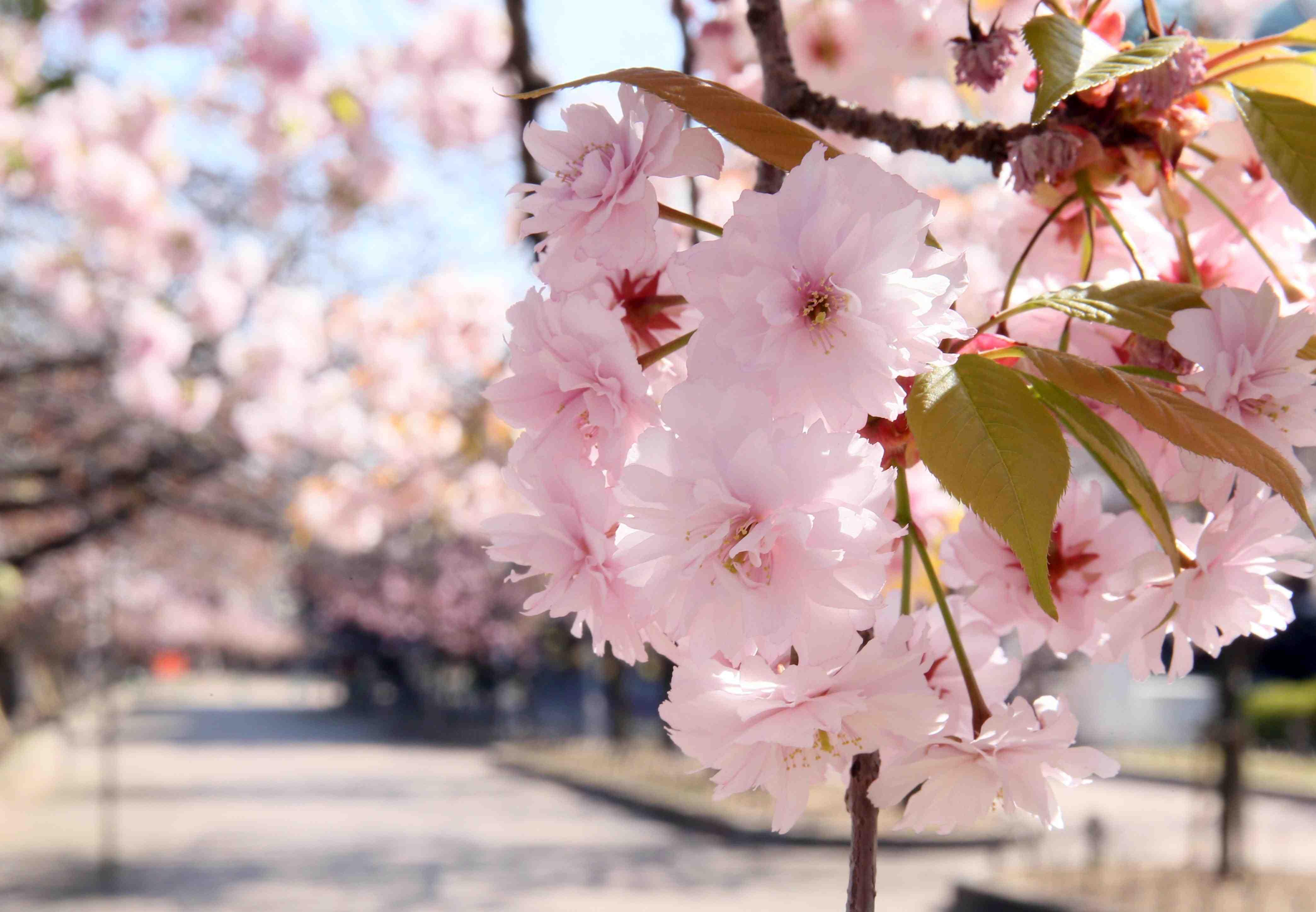 Japan Spring Flowers 032