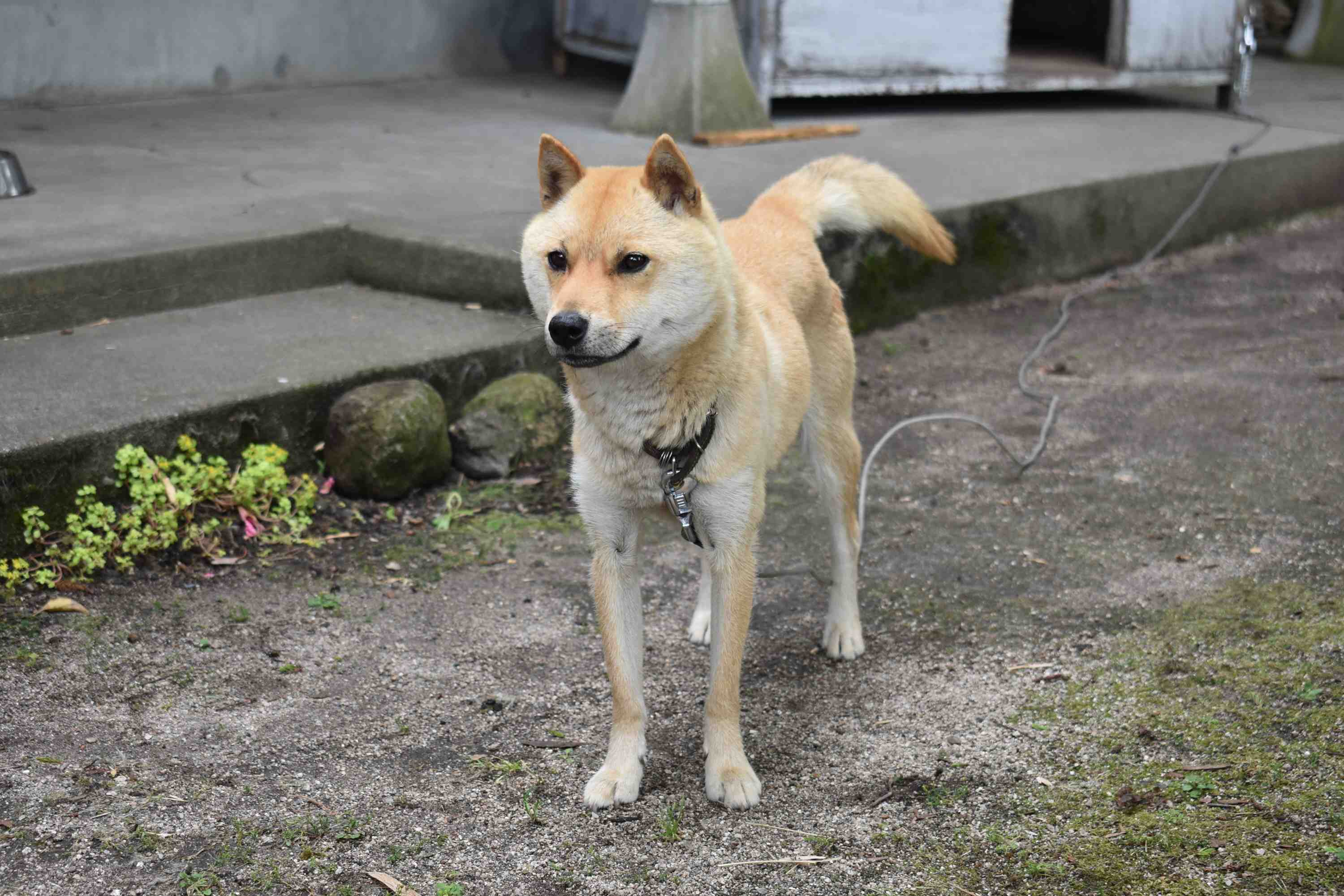 Two San'in Shiba-inu dogs puppy siblings 009