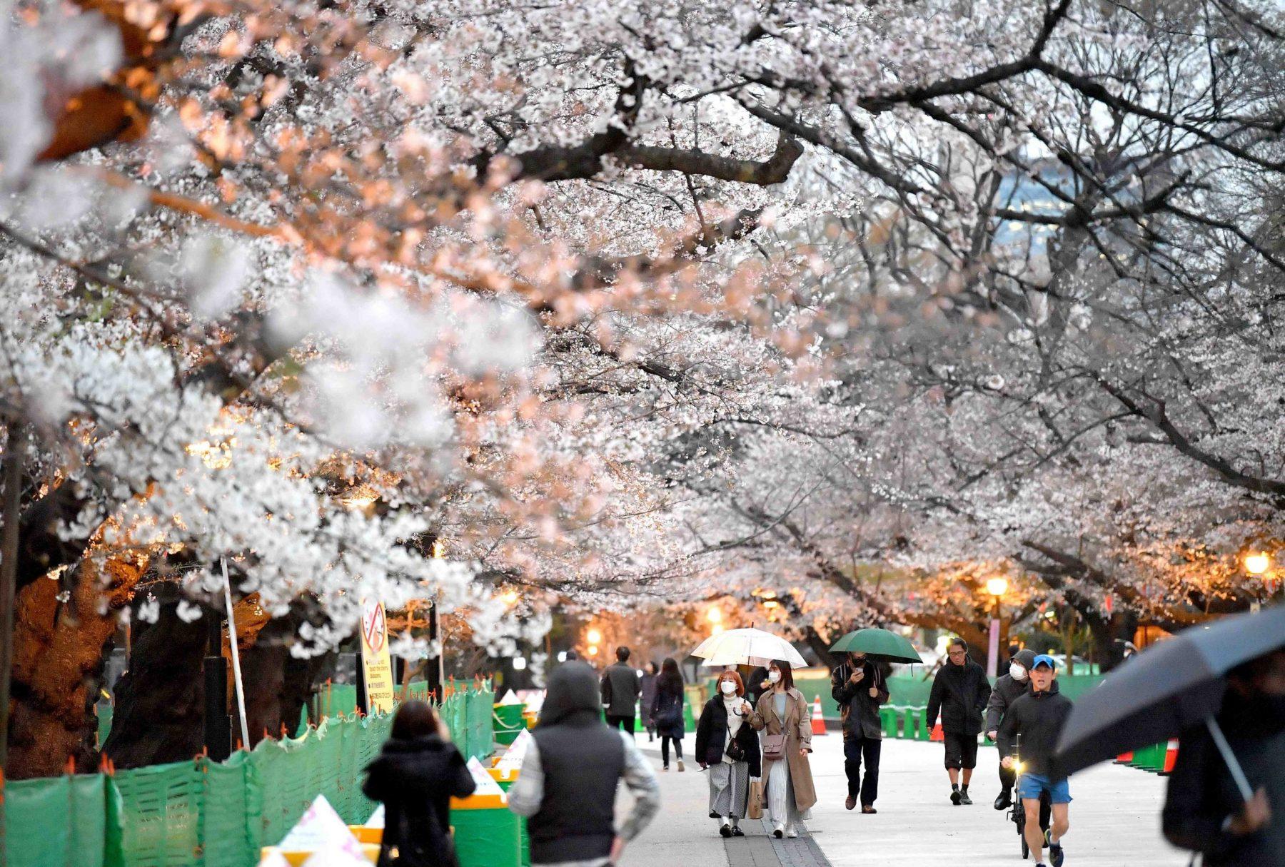 It S Finally Here Tokyo Declares Full Bloom For Cherry Blossom Season Japan Forward